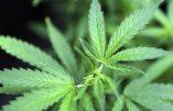 L'Uruguay pourra officiellement exporter de la marijuana au Canada