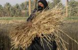 L'Etat Islamique s'enrichit avec le commerce du blé, notamment à la frontière avec la Turquie