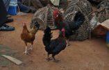 La Côte d'Ivoire met fin au scandale du poulet discount