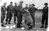 La vie de l'ours soldat polonais bientôt portée à l'écran