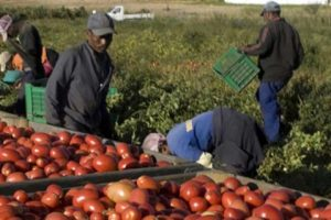 Dans la Sarthe, les saisonniers français sont remplacés par des demandeurs d'asile payés 700 € pour 15 jours de travail